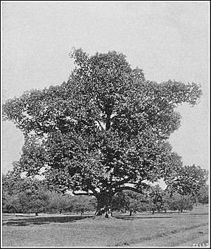 American Chestnut, Central Maryland. Photograp...