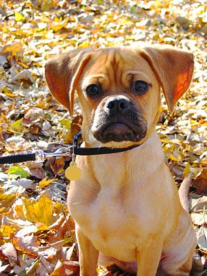 A male Puggle (crossbreed between a Pug and a ...