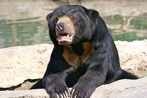 Sun Bear in captivity at the Columbus Zoo, Pow...