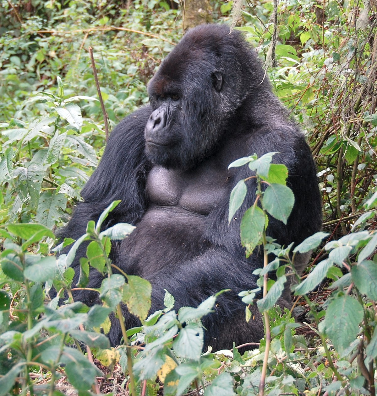 Susa group, mountain gorilla.jpg
