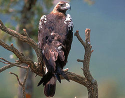 Aguila imperial iberica.jpg