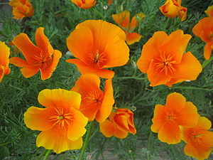 Photograph of California Poppies, scientifical...