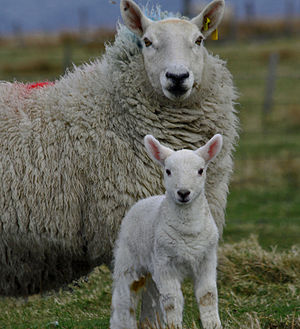 A Cheviot ewe with her lamb.