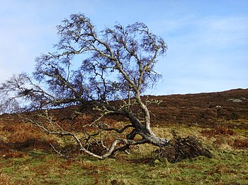 English: Fallen tree