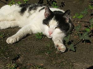 Lazy Cat with open eyes at Tum Bur in Hattingen