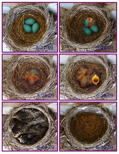 File:Robin eggs flying in 3 weeks - by Volkan Yuksel.jpg