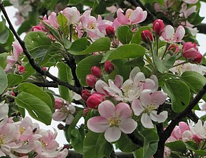 Malus domestica: Flowering tree. Deutsch: Apfe...