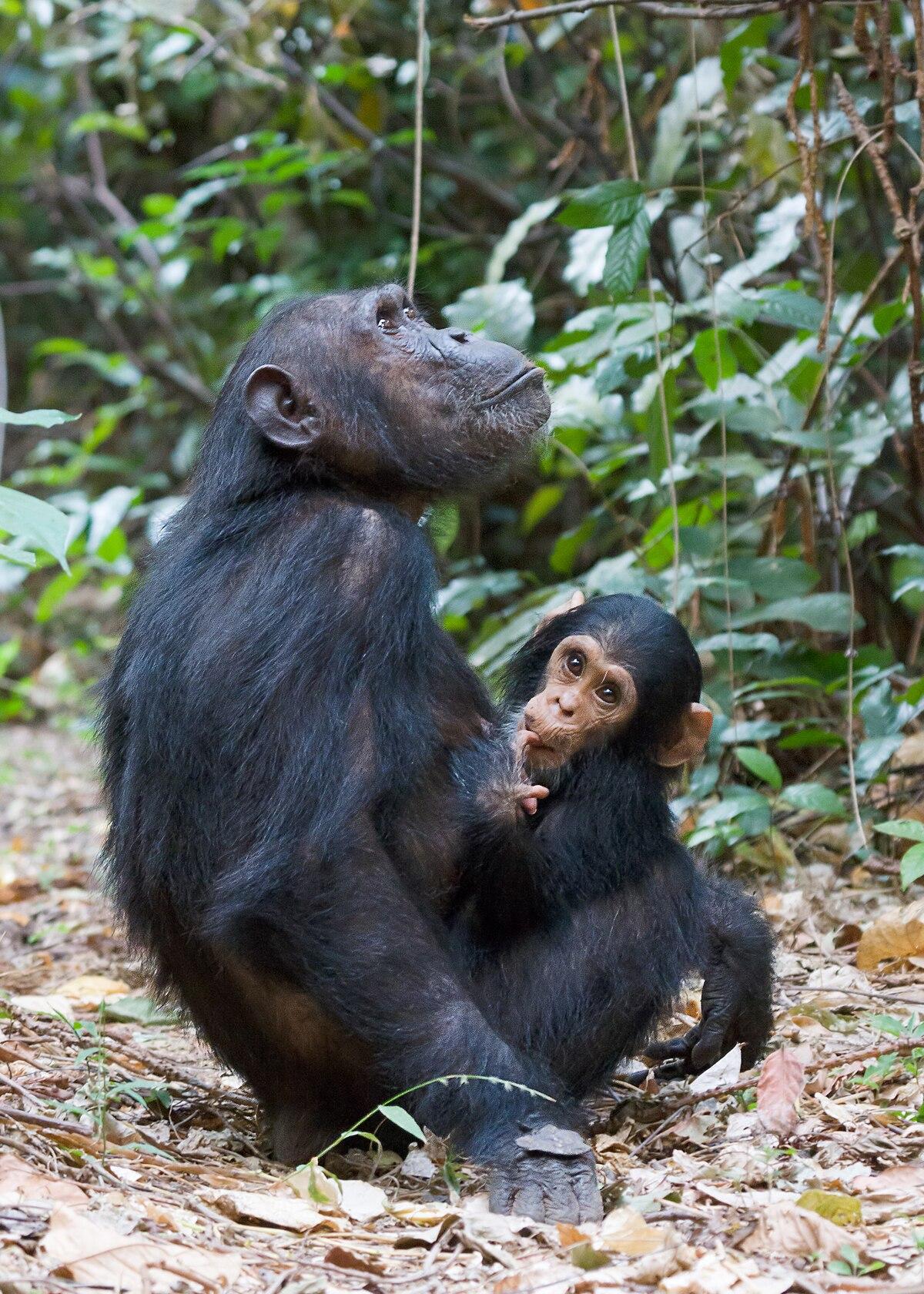 Gombe Stream National Park Wikipedia