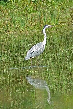 English: Grey Heron A Heron in 1362986 Nature ...