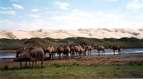 Bactrian camels by the sand dunes of Khongoryn...