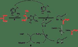 Pyruvate dehydrogenase plex  Wikipedia