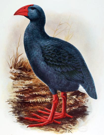 The Réunion Swamphen