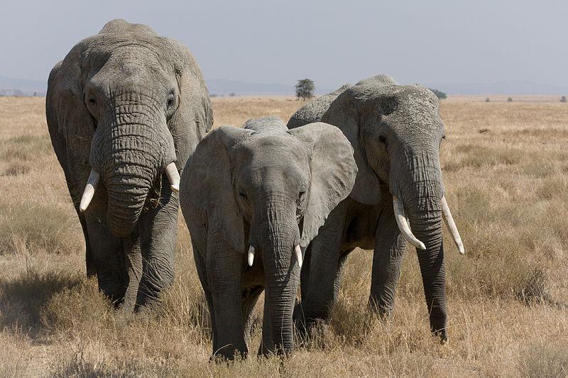 File:Serengeti Elefantenherde2.jpg