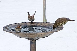 English: Two male House Sparrows and a thrush ...