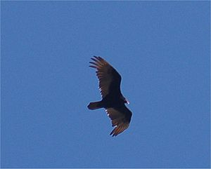 English: Turkey vulture, Cathartes aura, soari...