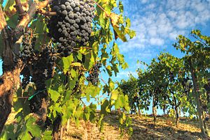 Sangiovese grapes on the vine in the Italian w...