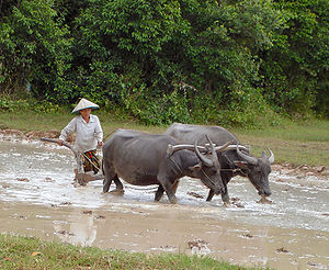 Buffaloes labouring a paddy field in Cambodia ...