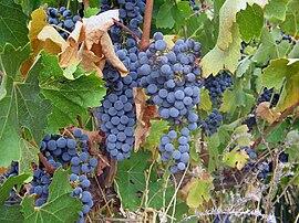 Sangiovese grapes