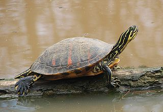 Fla Redbelly Turtle