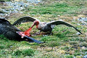 Giant petrel at South Georgia Island