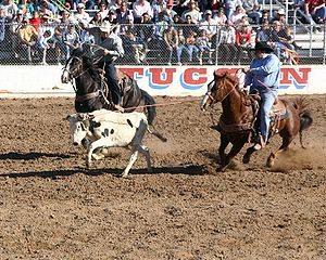 Team ropers, the header has roped the steer an...