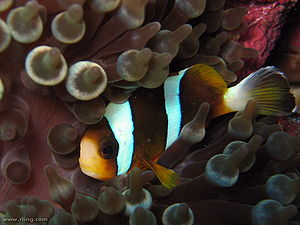 A Barrier Reef Anemonefish (Amphiprion akindyn...