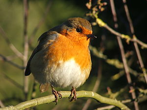 English: The European Robin (Erithacus rubecula)