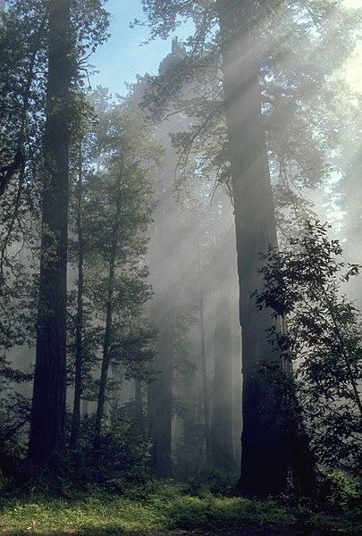 File:Redwood light.jpg