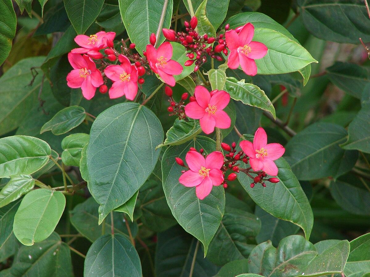 Jatropha Integerrima Wikispecies