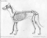 Dog anatomy lateral skeleton view.jpg