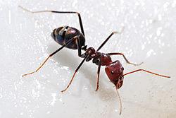 Semut sedang memakan madu