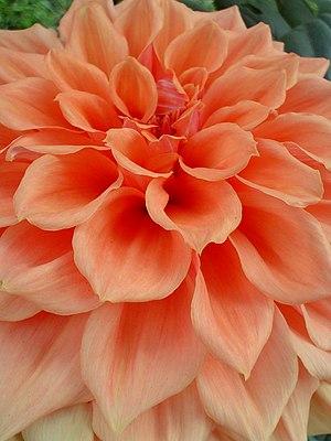 Common seasonal flower of India. Photograph ta...