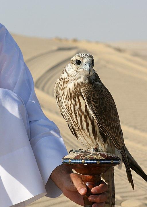 Falco cherrug Qatar