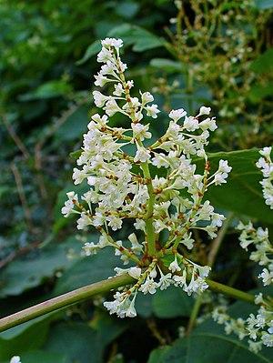 English: Fallopia japonica, Polygonaceae, Japa...