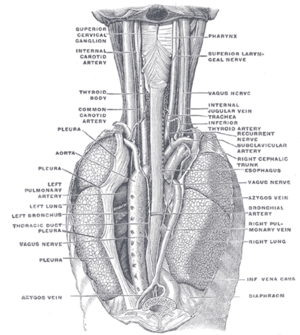 The position and relation of the esophagus in ...