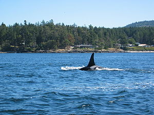 English: Orca seen from whale watching boat ne...