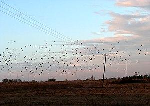 English: Starlings gathering at dusk At the be...