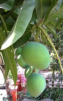 Mango Fruit Trees Wwwpixsharkcom Images Galleries