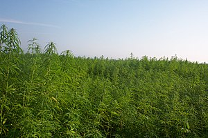 Cultivation of industrial hemp for fiber and f...
