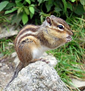Siberian Chipmunk photographed on the mountain...