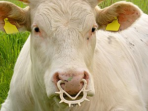 Name: Bos taurus with a nose ring of the type ...