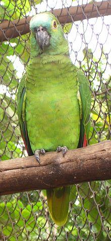 Amazona aestiva cropped.jpg