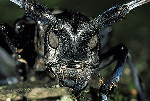 Asian Longhorn Beetle (Anoplophora glabripennis)
