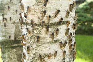 17-Year Cicada Illinois Brood XIII