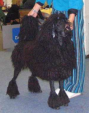 A corded Standard Poodle