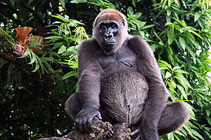 Cross River gorilla, Limbe Wildlife Centre, Ca...