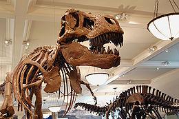 Kerangka yang dirangkai dari Tyrannosaurus (kiri) dan Apatosaurus (kanan) di American Museum of Natural History.