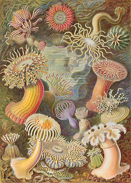 Haeckel illustration