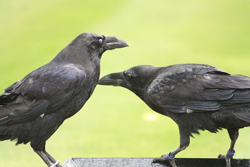 File:Ravens-tower-of-london.JPG