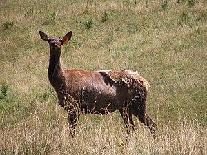 English: A happy elk near Caledonia, Elk Count...